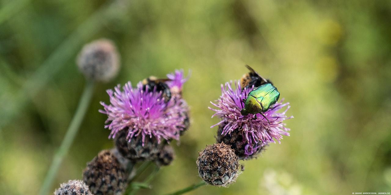 Gräsgrön guldbagge| © Janne A
