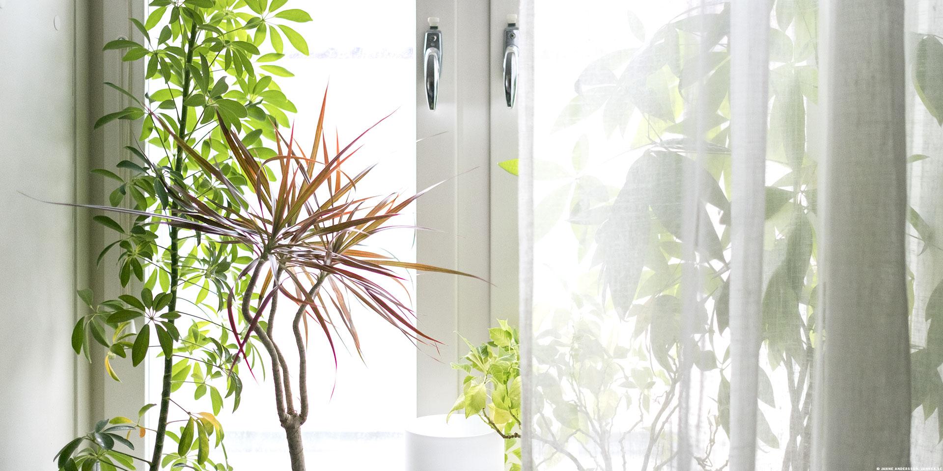 Mina krukväxter i fönstren mår inte så bra |©Janne A