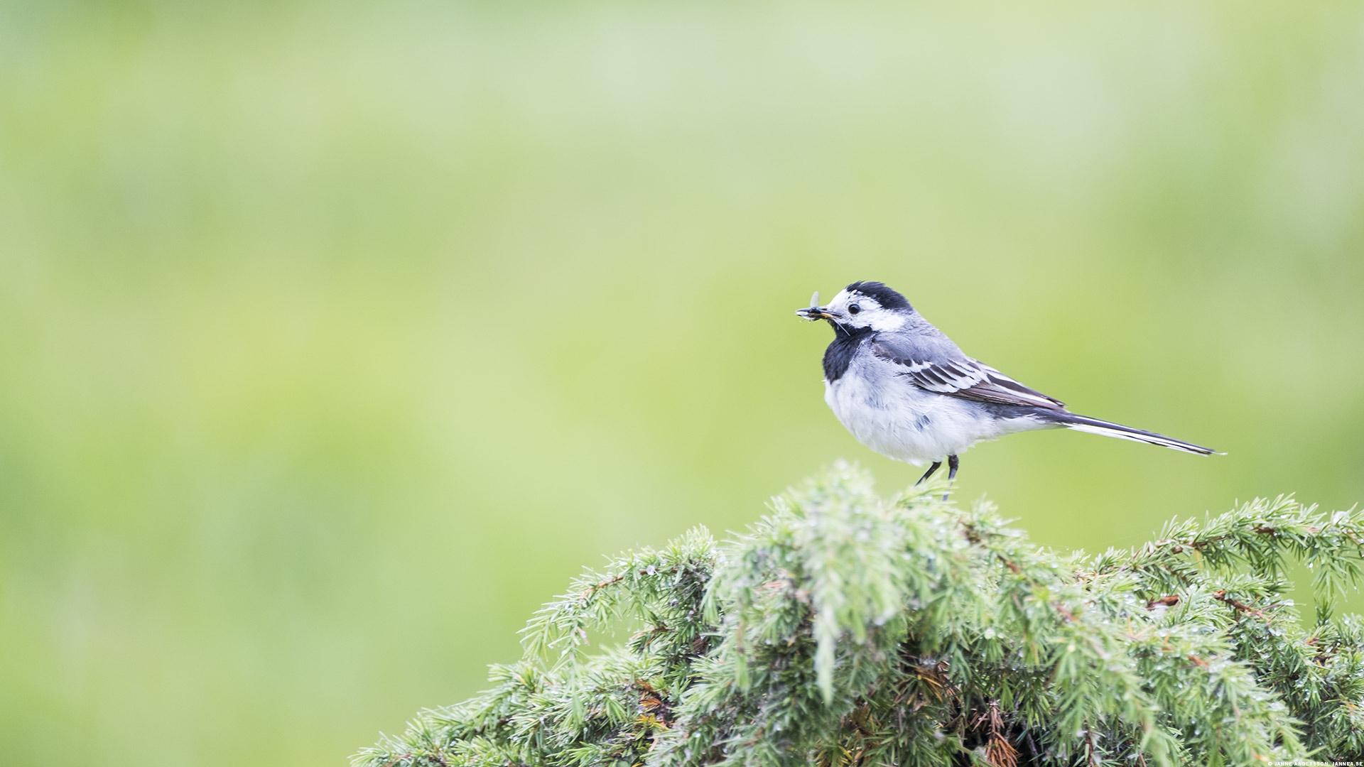 En Talgoxe med en fluga i näbben   © Janne A