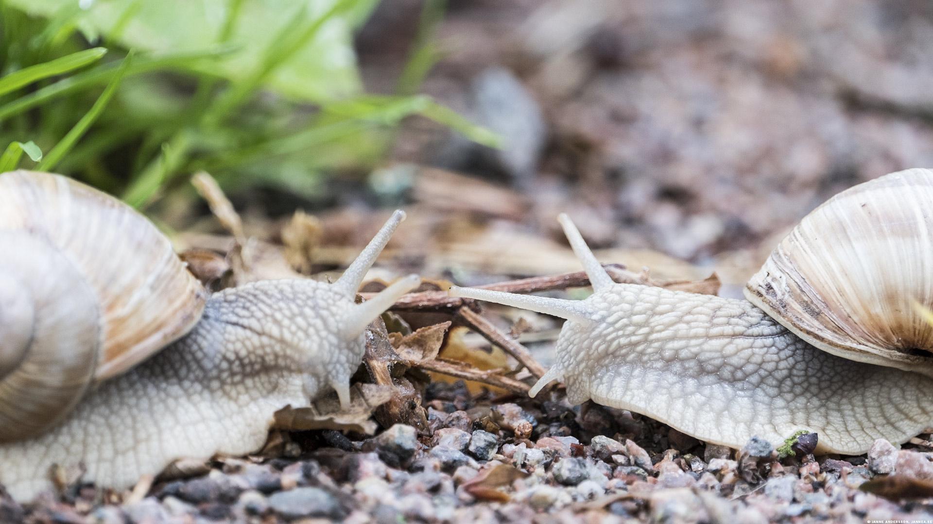 Tvån Vinbergssnäckor som hälsar på varandra |©Janne A
