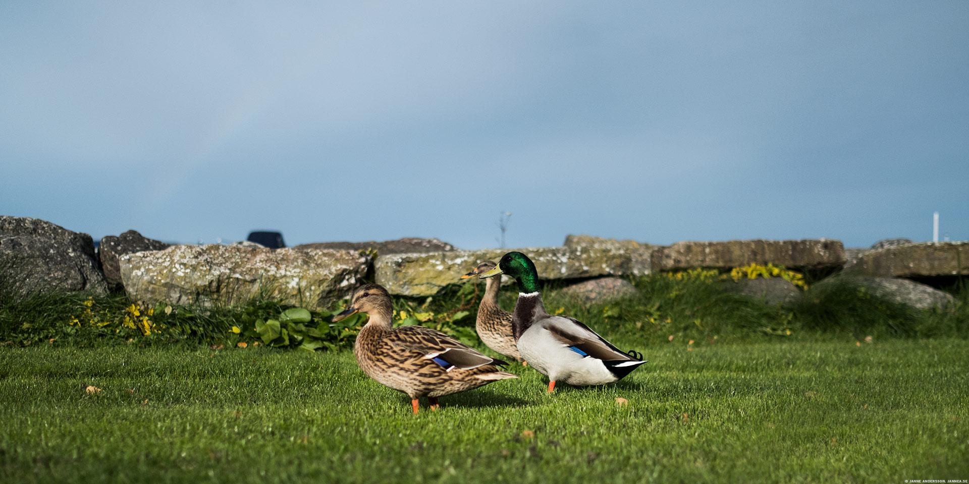 Quack – Gräsänder på gräs   © Janne A