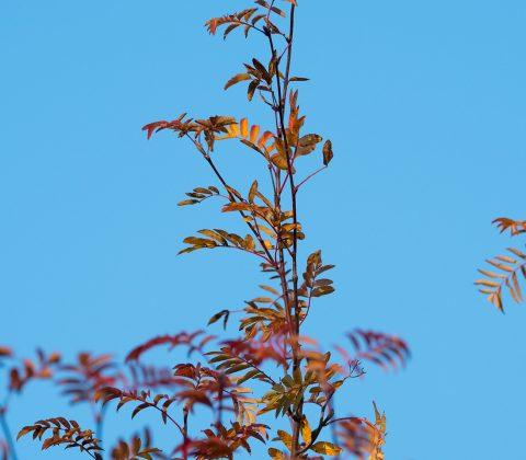 En bild på en Rönn, mot blå himmel  ©Janne A