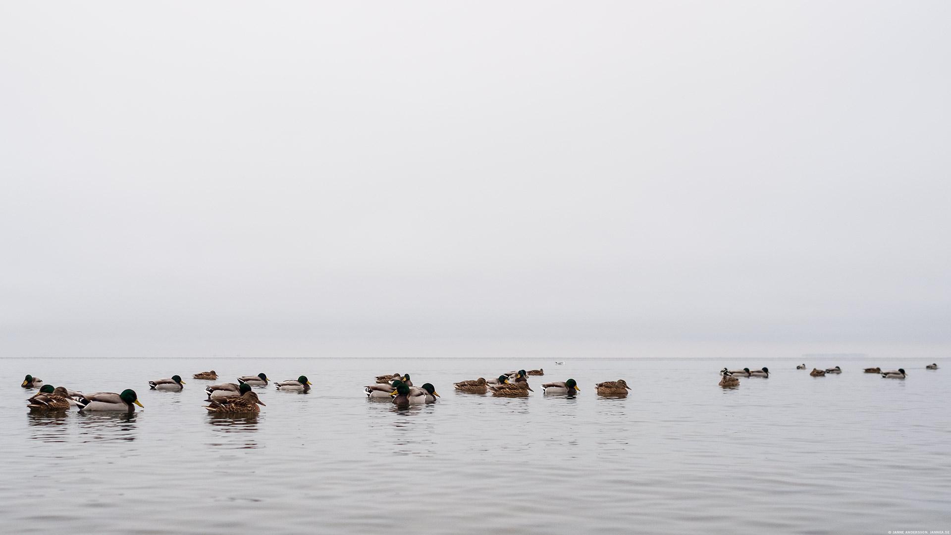 Lake of the day + mallards   © Janne A