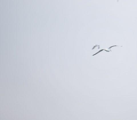 Fiskmås som flyger | © Janne A