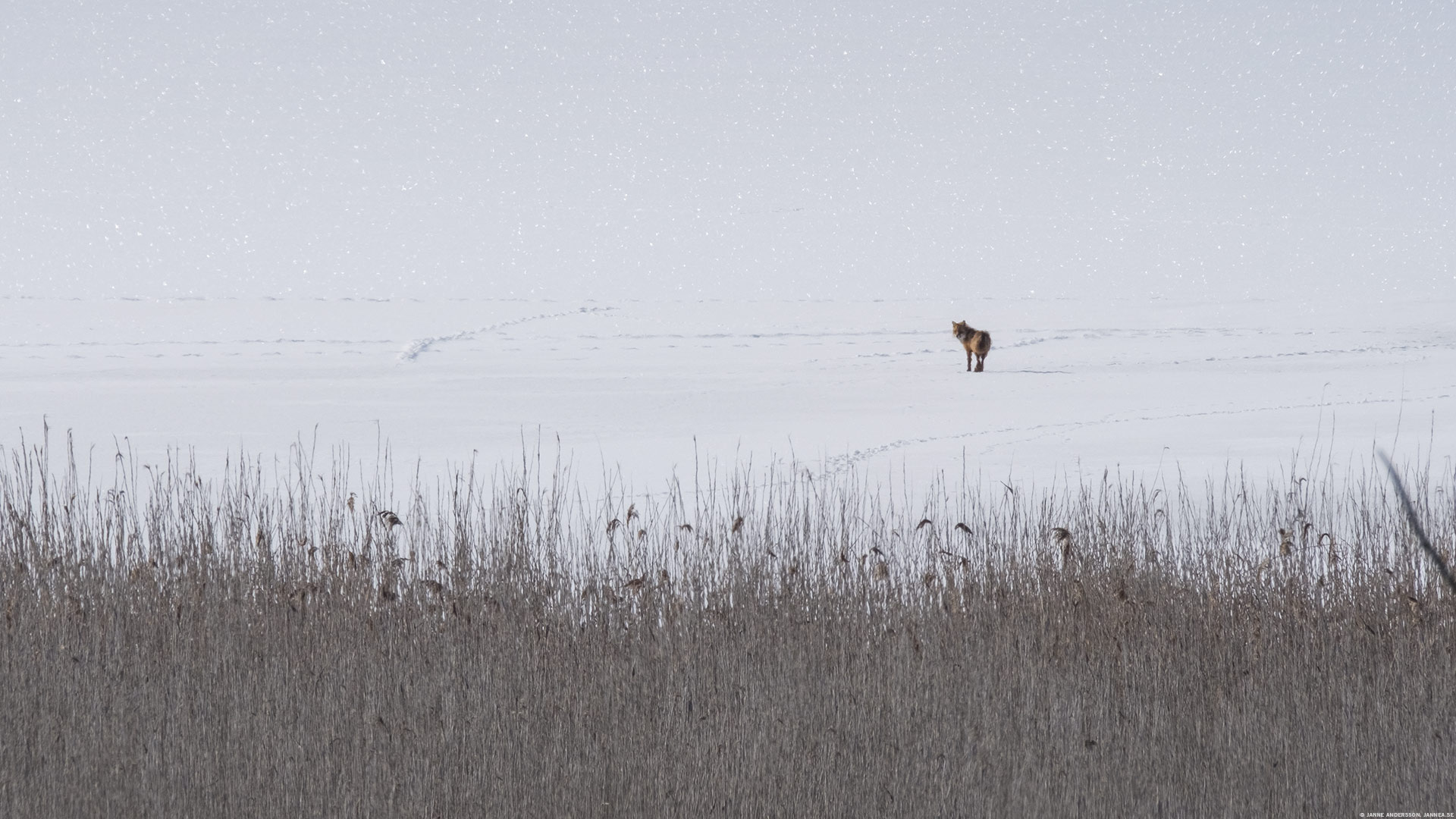 Räven raskar över Tåkerns is  © Janne A
