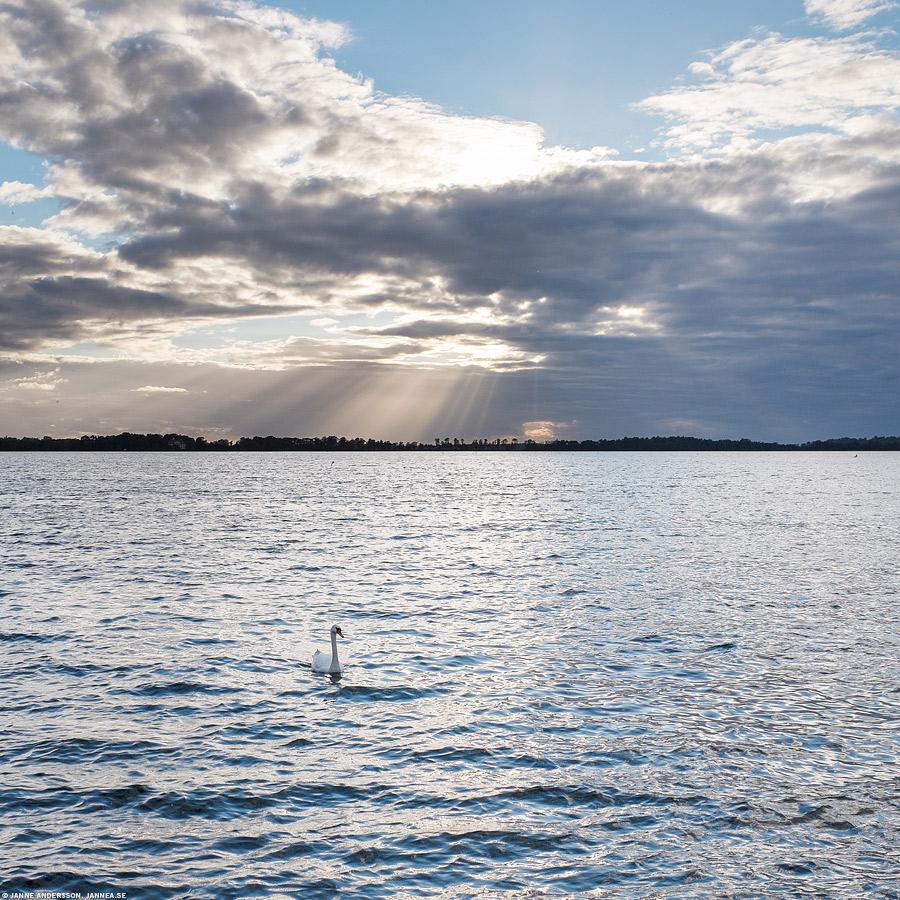 En svan i sjön |© Janne A