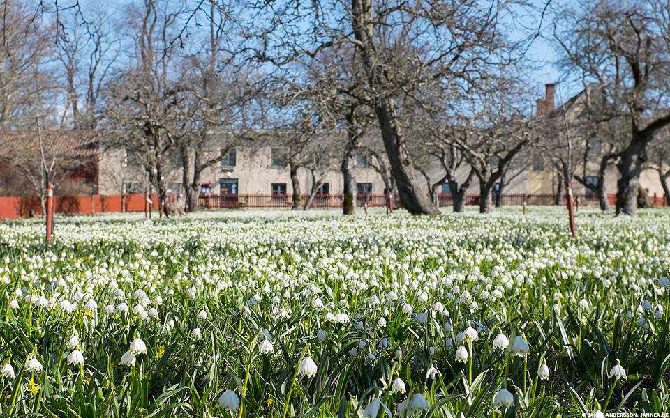 Klosterliljor i Vadstena |©Janne A