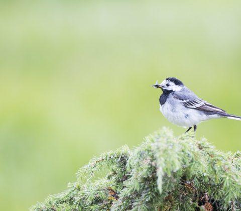En Talgoxe med en fluga i näbben | © Janne A