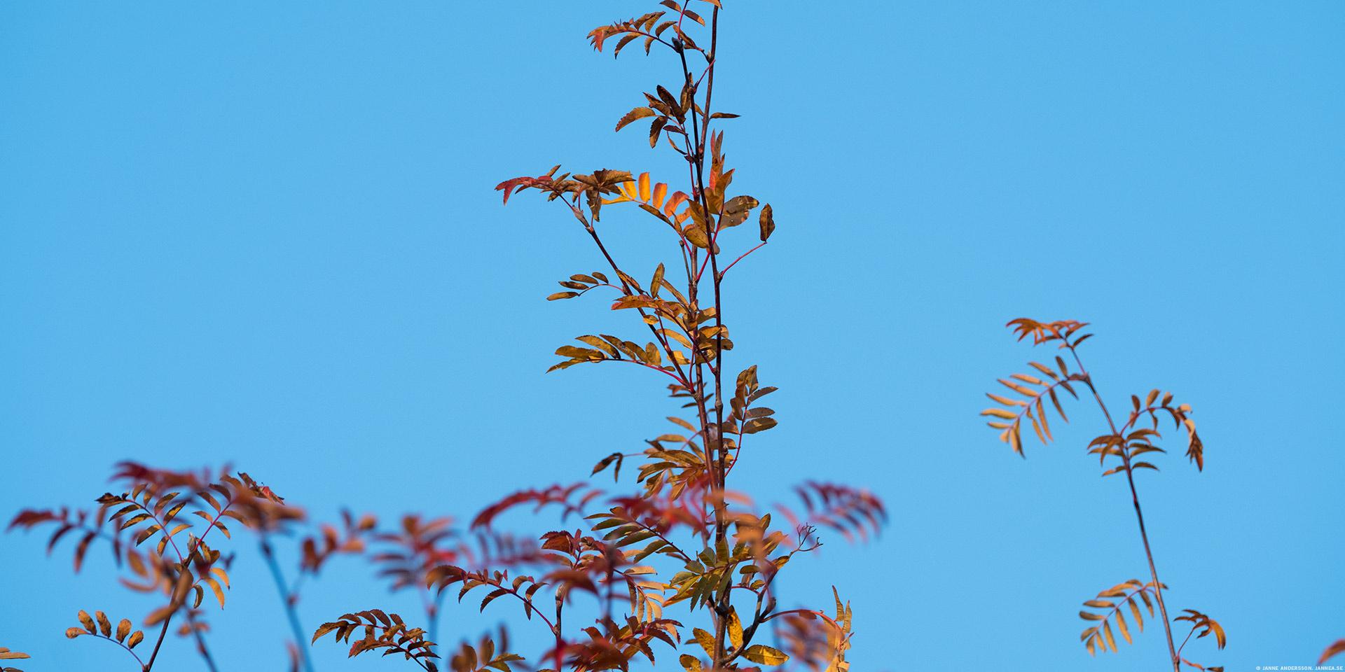 En bild på en Rönn, mot blå himmel |©Janne A