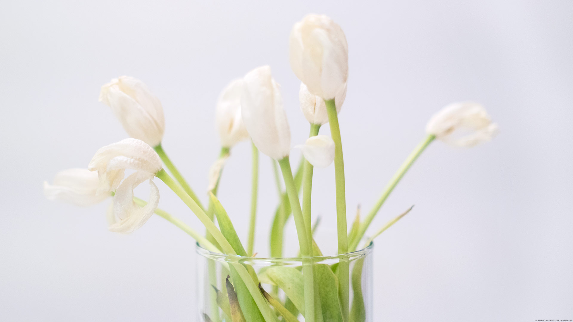 Vita, trötta tulipaner |©Janne A