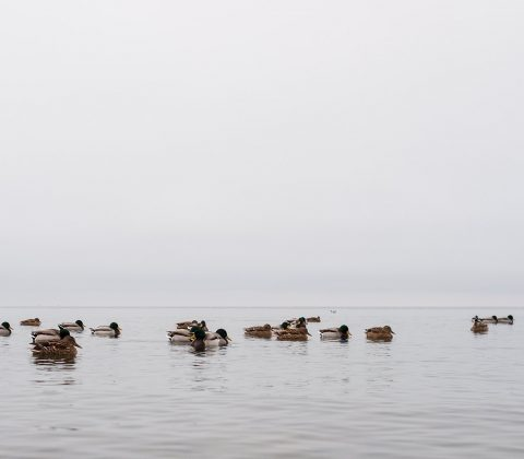 Lake of the day + mallards | © Janne A