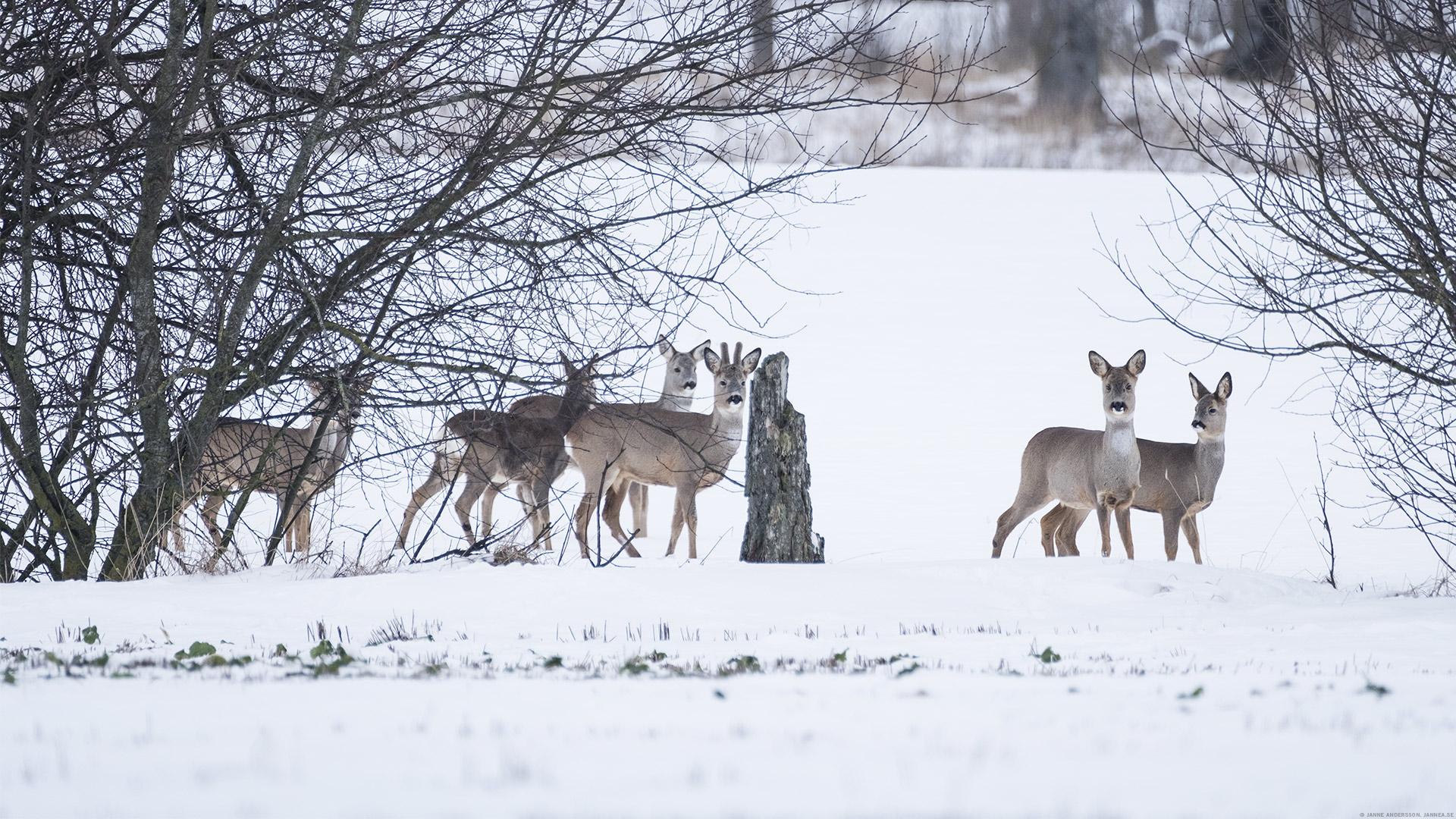 En flock rådjur ute vid Kastad|© Janne A