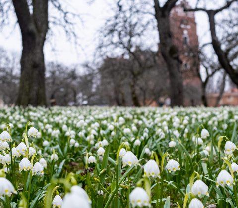 Klosterliljor i Munkträdgården, Vadstena |©Janne A
