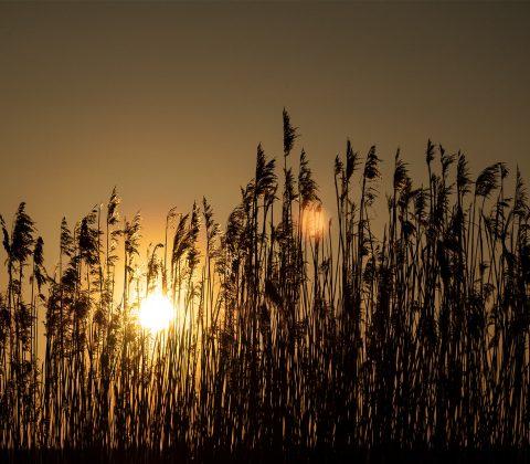Vass i solnedgång |© Janne A