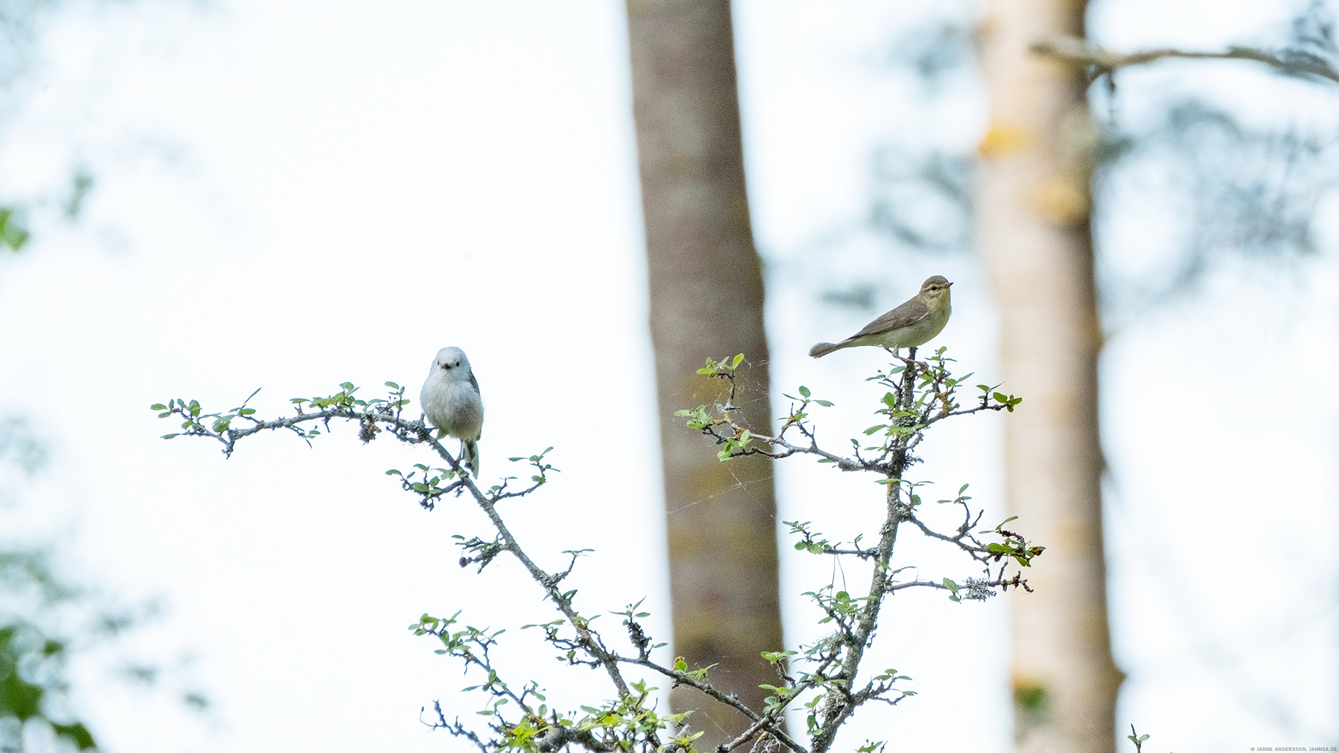 En Stjärtmes och en Lövsångare |© Janne A