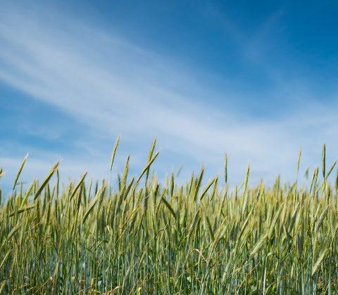 Rågfält och himmel |© Janne A