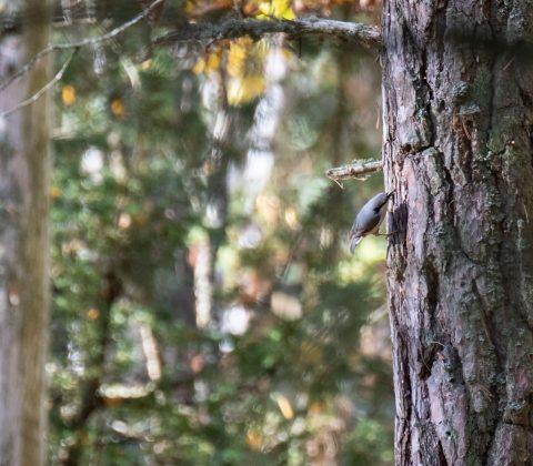 Nötväcka och en höstpromenad ute i naturen   © Janne A