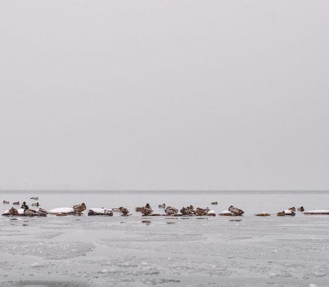 På stenmuren i vattnet samlas änderna | © Jan Andersson