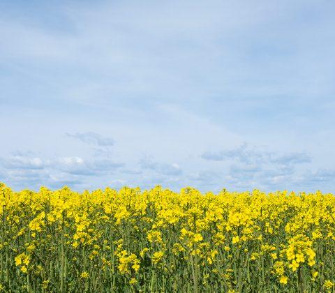 Ett fält av gult |© Jan Andersson