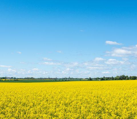 Jag såg ett hav av gult och blev glad |©Jan Andersson
