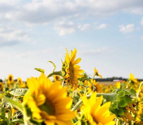 Det är väldigt mycket fredag och solrosor på ett fält |© Jan Andersson