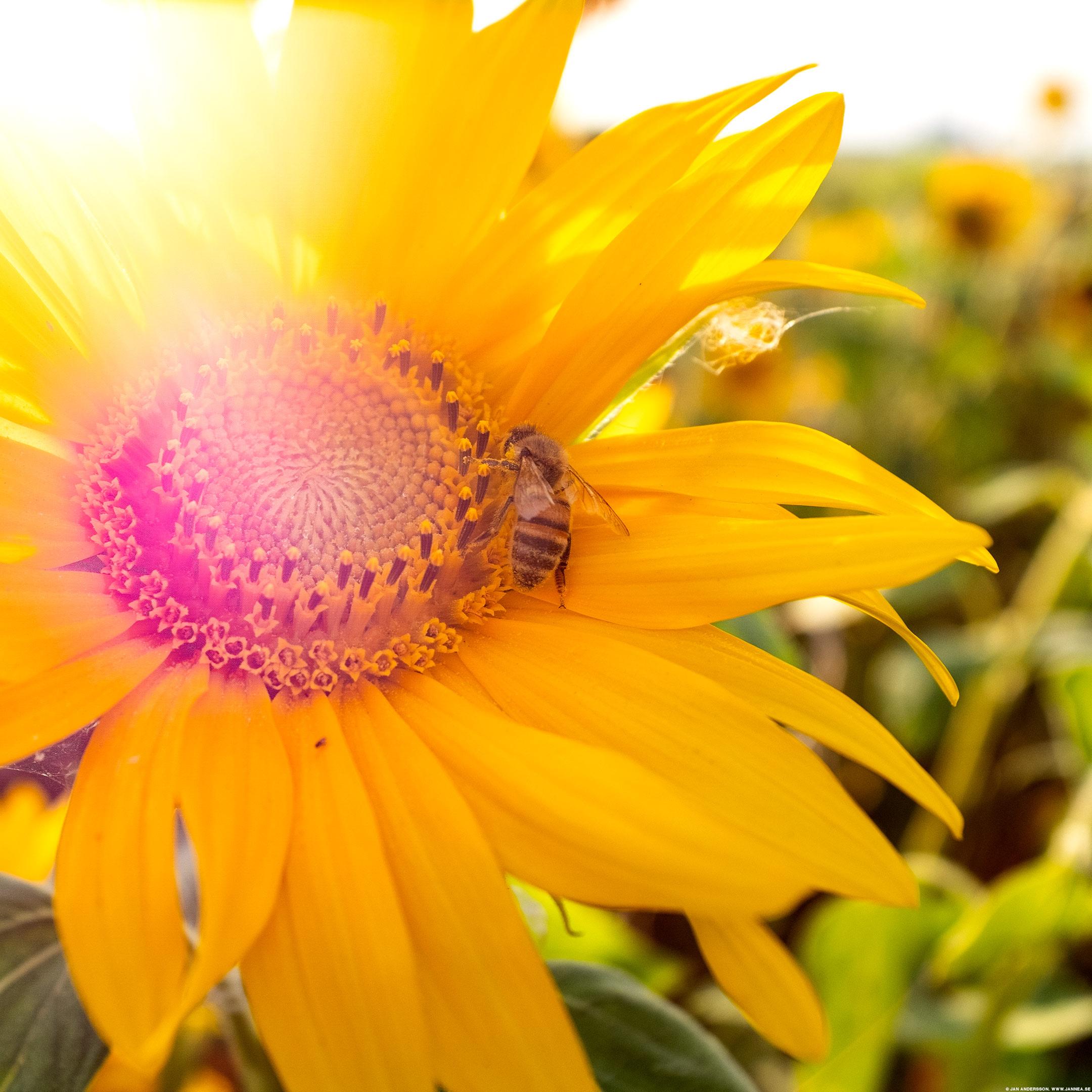 Solen och rosen (och ett litet bi)|©Jan Andersson