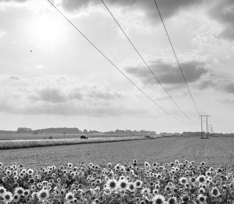 Solrosfält i motljus |©Jan Andersson