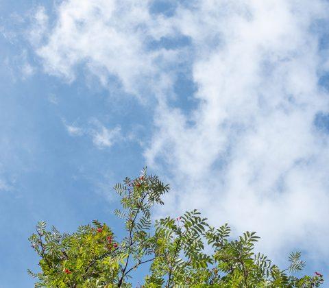 Blå himmel och rönnbärsträd|© Jan Andersson