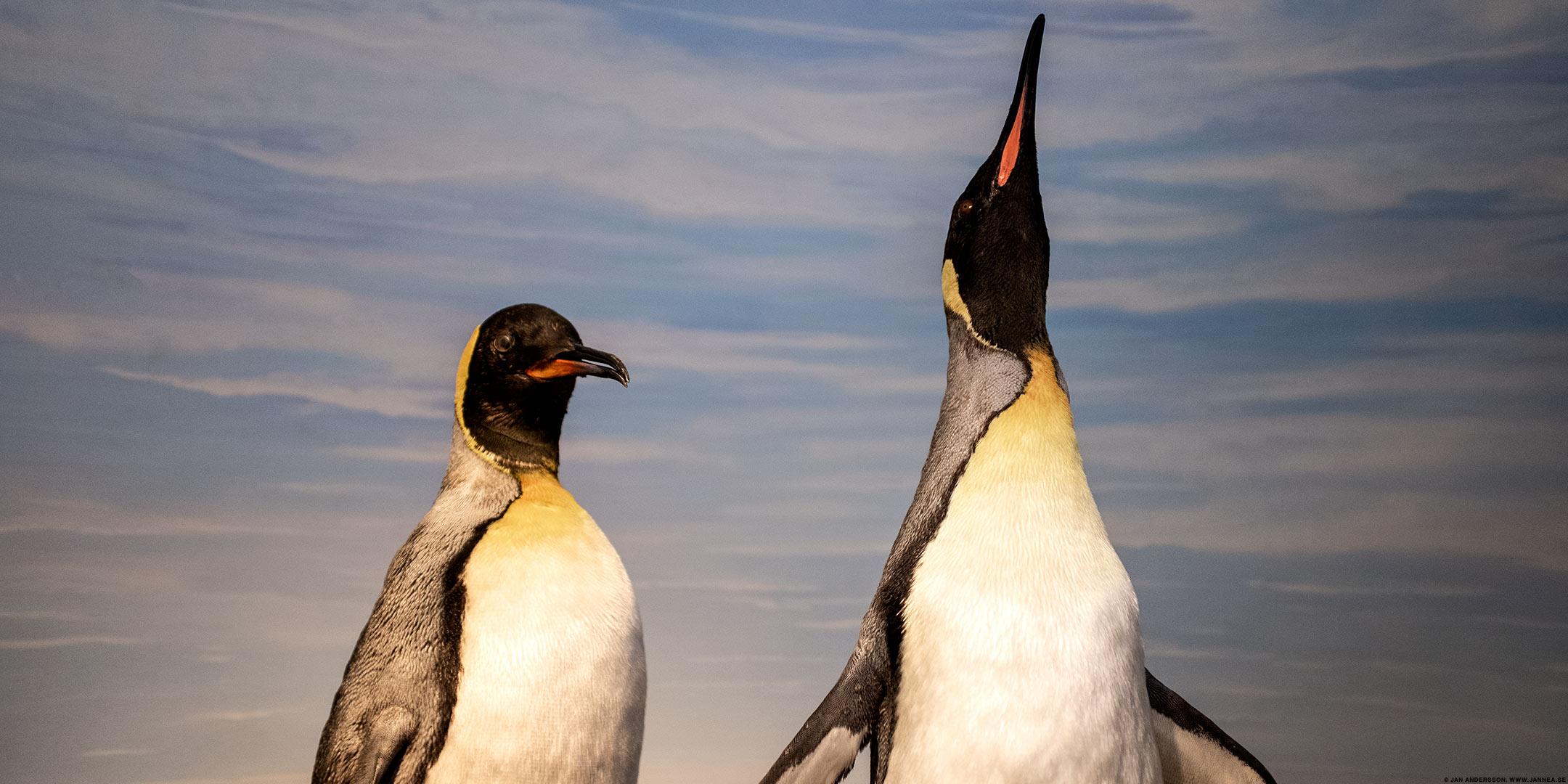 Pingviner i glasmontrar |© Jan Andersson