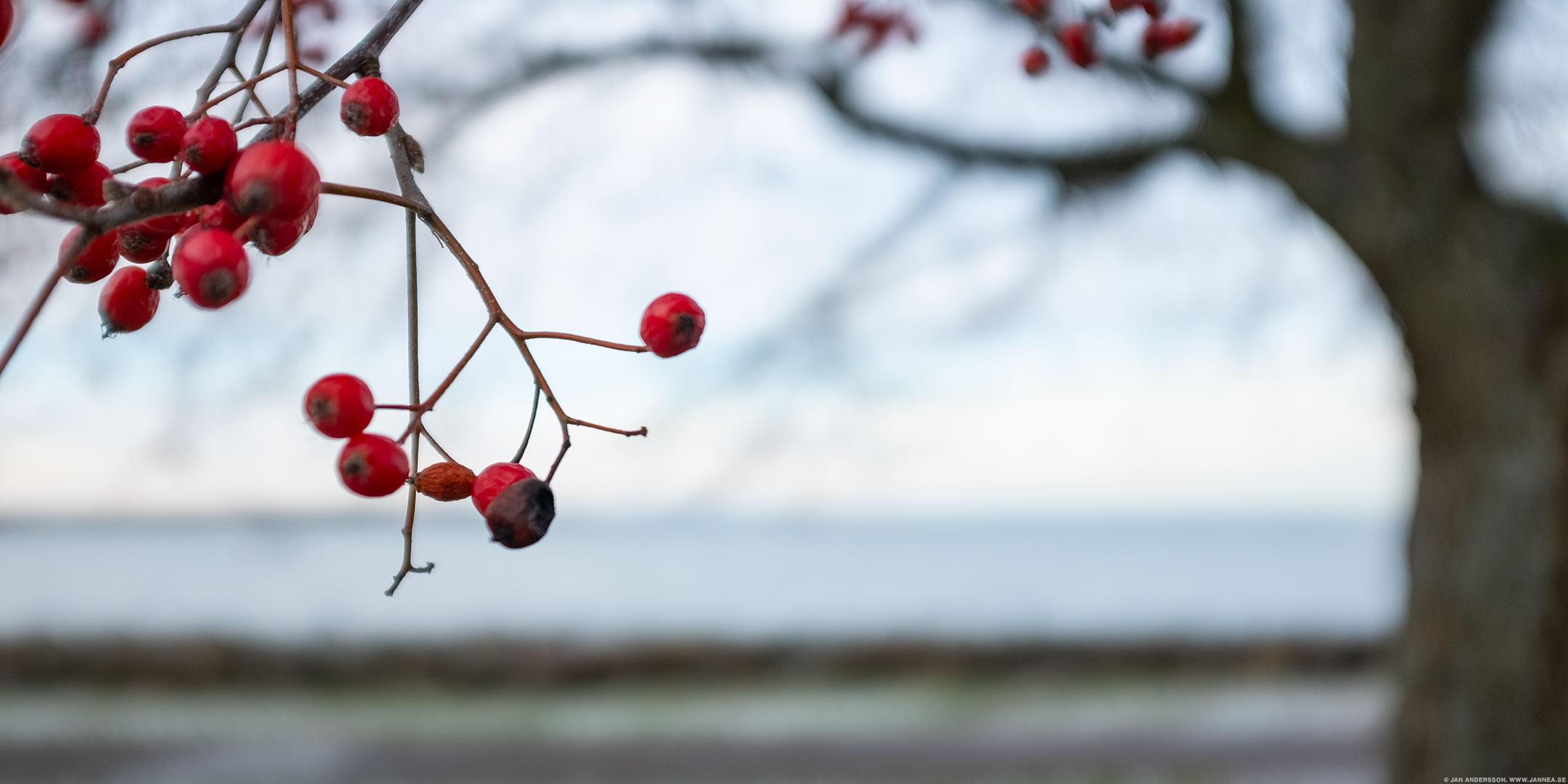 I söndags gick jag förbi en Rönn |© Jan Andersson
