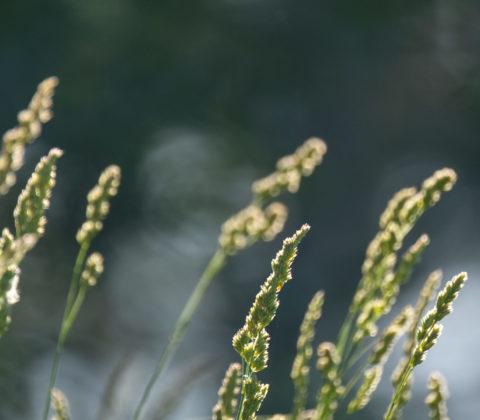 Naturpromenad och grässtrån