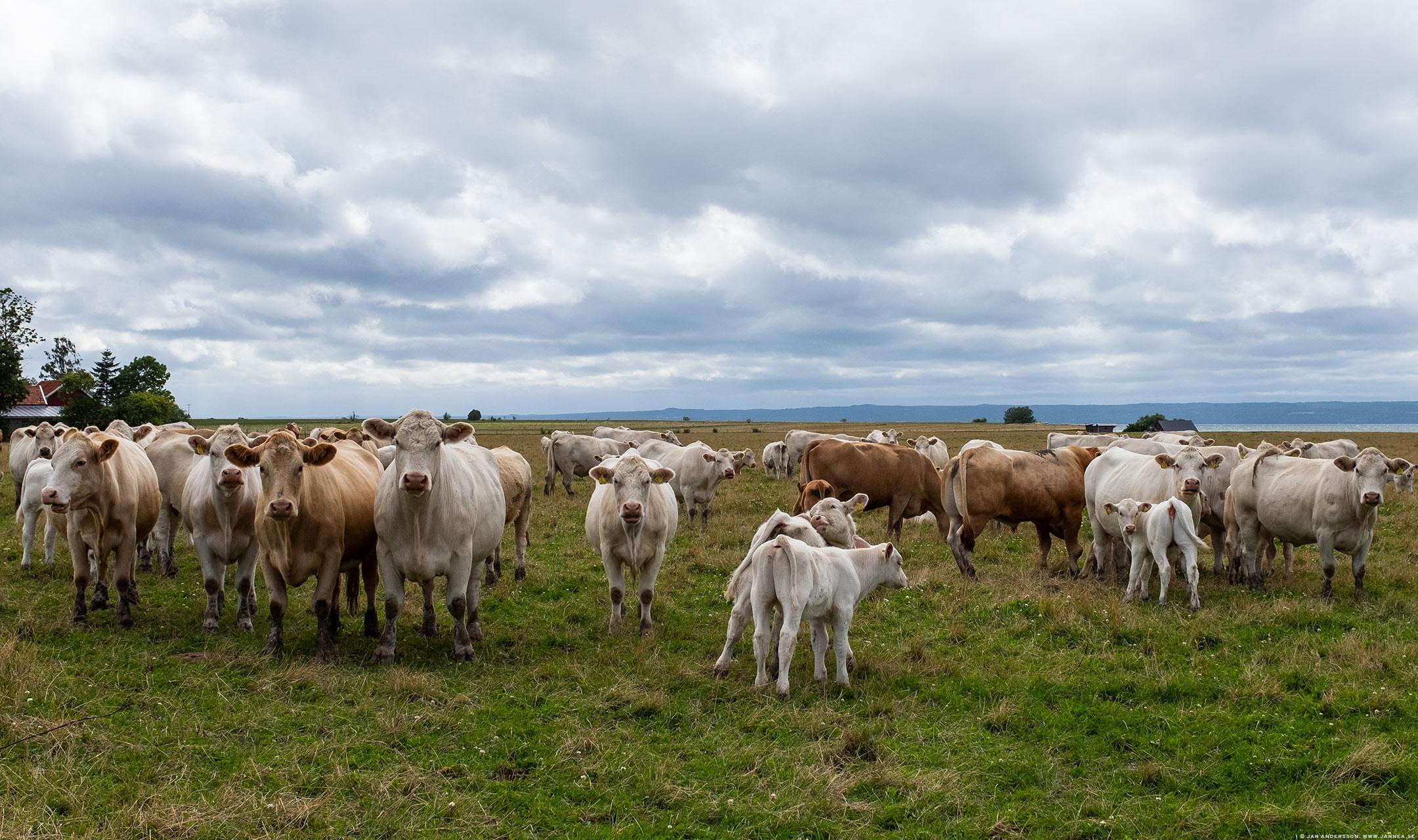 Stirrande kossor på Visingsös nordspets